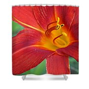 Single Red Lily Closeup Shower Curtain