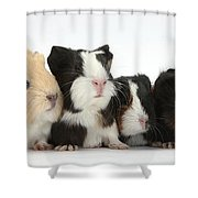 Six Young Guinea Pigs In A Row Shower Curtain