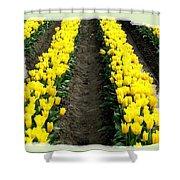 Skagit Valley Tulips 2 Shower Curtain