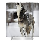 Sled Dog Howling Shower Curtain