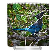 Small Blue Jay Of California Shower Curtain