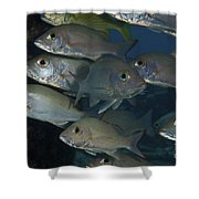 Small School Of Mahogany Schnapper Shower Curtain by Terry Moore