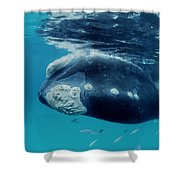 Southern Right Whale Australia Shower Curtain