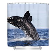 Southern Right Whale Shower Curtain