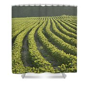Soybean Crop Ready To Harvest Shower Curtain