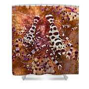 Spotted Periclimenes Colemani Shrimp Shower Curtain