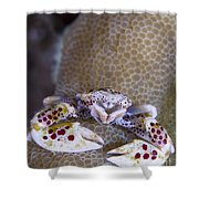 Spotted Porcelain Crab Feeding Shower Curtain