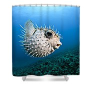 Spotted Porcupinefish Shower Curtain