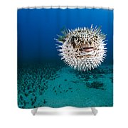 Spotted Porcupinefish II Shower Curtain by Dave Fleetham