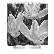 Spring Crocus In Black And White Shower Curtain
