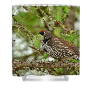 Spruce Grouse Shower Curtain