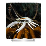 Squat Lobster Carrying Eggs, Indonesia Shower Curtain