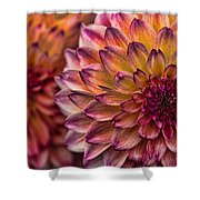 Stacked Dahlias Shower Curtain