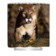 Stalking Mountain Lion Shower Curtain