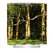 Stand Of Rainbow Eucalyptus Trees Shower Curtain