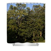 Stand Of Sugar Maple Trees Shower Curtain