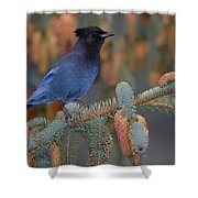 Stellar Jay, Haines, Alaska Shower Curtain