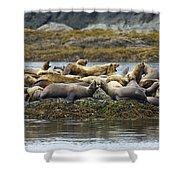 Stellers Sea Lion Eumetopias Jubatus Shower Curtain