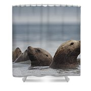 Stellers Sea Lion Eumetopias Jubatus Shower Curtain
