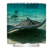 Stingray Approaching Shower Curtain