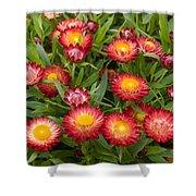 Strawflower Helichrysum Sp Red Variety Shower Curtain