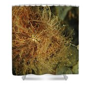 Striated Frogfish, North Sulawesi Shower Curtain