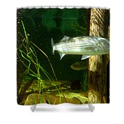Striped Bass In Aquarium Tank On Cape Cod Shower Curtain