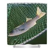 Striped Bass In Net.  The Fish Shower Curtain