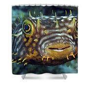 Striped Burrfish On Caribbean Reef Shower Curtain