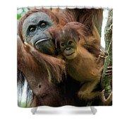 Sumatran Orangutan Pongo Abelii Mother Shower Curtain