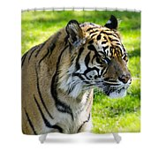 Sumatran Tiger Portrait  Shower Curtain