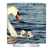 Swan And Signets On Wall Lake  Shower Curtain
