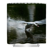 Swan In Motion Shower Curtain
