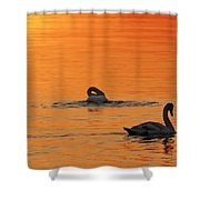 Swans In Early Light  Shower Curtain