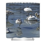 Swans On The Ice Along The Tagish Shower Curtain