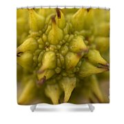 Sycamore Seed Pod Shower Curtain