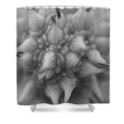 Sycamore Seed Pod In Black Shower Curtain