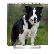 Taj - Border Collie Shower Curtain by Michelle Wrighton