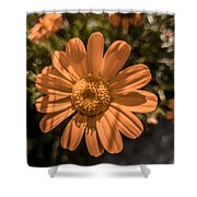 Tanacetum Painted In Red Shower Curtain