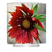 Teary Gaillardia Shower Curtain