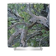 Texas Madrone Tree Limbs Shower Curtain