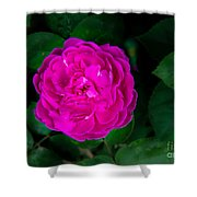 The Old Red Rose Shower Curtain