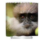 The Purple-faced Langur. Nuwara Eliya.sri Lanka Shower Curtain
