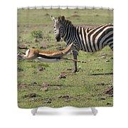 Thomson's Gazelle Running At Full Speed Shower Curtain