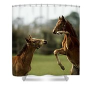Thoroughbred Foals Playing Shower Curtain