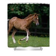 Thoroughbred Horse, National Stud Shower Curtain