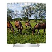 Thoroughbred Horses, Yearlings, Ireland Shower Curtain