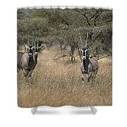Three Beisa Oryxes In Kenyas Samburu Shower Curtain