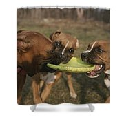 Three Boxer Dogs Play Tug-of-war Shower Curtain