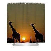 Three Giraffes Stand At Sunset Shower Curtain